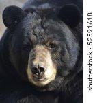 American Black Bear Male Adult...