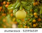 ripe pomelo fruits hang on the... | Shutterstock . vector #525956539