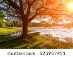 dawn on the lake with lotuses.... | Shutterstock . vector #525957451