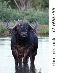 Small photo of The African buffalo or Cape buffalo (Syncerus caffer) old bull standing in a pond with ragged ears