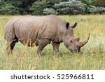 The White Rhinoceros Or Square...