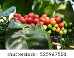 coffee beans ripening on a tree. | Shutterstock . vector #525967501