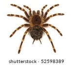 Trap door spider acanthoscurria ...