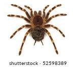 Trap door spider acanthoscurria ...