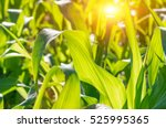 green juicy leaves of young... | Shutterstock . vector #525995365