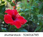 Red Hibiscus Flower Over Green...