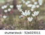 Windflower Spring White Flower...