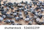 Pigeons Fight Over For Food  ...