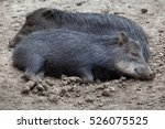 southern white lipped peccary ... | Shutterstock . vector #526075525