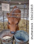 Small photo of small calf on a cow farm
