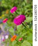 Beautiful Zinnias Flowers On...