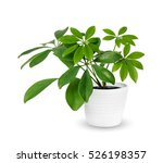 Young schefflera a potted plant ...