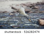 Little Egret Hunting In The...