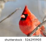 Male Northern Cardinal ...
