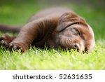 Puppy Labrador Sleeping In The...