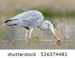 Heron With Fish. Bird With...