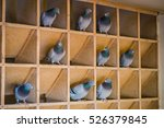 Homing Pigeons Sitting In A...