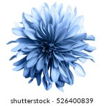 Stock photo light blue flower on a white background isolated with clipping path closeup big shaggy flower 526400839
