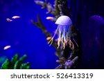 Beautiful Jellyfish  Medusa In...