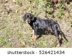 Small photo of purebred Transylvanian Hound puppy