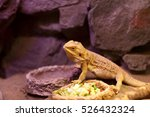 Lizard Next To Plate Of Food At ...