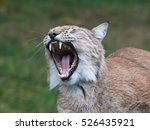 eurasian lynx  lynx lynx  with...   Shutterstock . vector #526435921