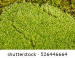 Green Moss Leucobrylum Glaucum