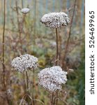 Small photo of Morning frost on golden yarrow flowers, Achillea filipendulina