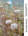 Small photo of Golden yarrow flowers with winter frosting, Achillea filipendulina