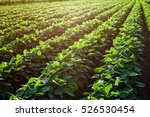 rows of young soybean plants in ...   Shutterstock . vector #526530454