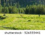 madison drive  yellowstone... | Shutterstock . vector #526555441