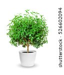 young myrtle a potted plant... | Shutterstock . vector #526602094