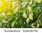 Closeup Of Mangoes Hanging...