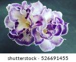 gloxinia flowers on dark... | Shutterstock . vector #526691455