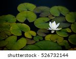 Water Lily  Nympha    A  On The ...