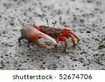 Fiddler Crab Walking In The...