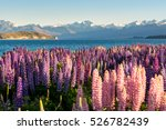 lupin flower during springtime... | Shutterstock . vector #526782439
