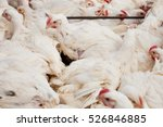 poultry farm. broiler chickens... | Shutterstock . vector #526846885