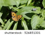 Small photo of the butterfly Precis Almana