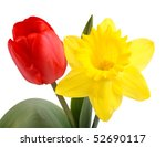 Red Tulip And Yellow Daffodil...