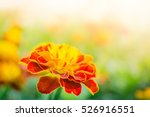 picture of close up red and...   Shutterstock . vector #526916551