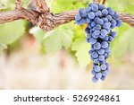 perfect bunch of grapes on vine