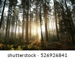 Coniferous Forest On A Foggy...