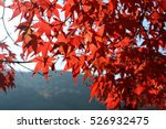 Red Japanese Maple Tree Leaves...
