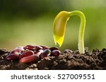 seed for planting and sprout... | Shutterstock . vector #527009551