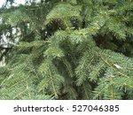 Blue Spruce Russia