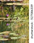 Purple Water Lily Blossom Amon...