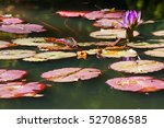 Purple Water Lily Flower And...