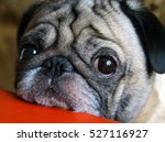 pug with sad eyes sitting at... | Shutterstock . vector #527116927