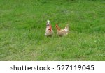 Two Domestic Chickens  Rooster...